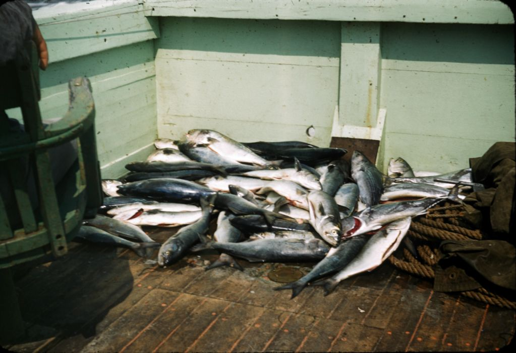 1950s_60s_no_date_on_slide_pile_of_fish_0132_sm-jpg